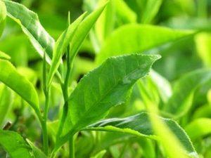 trà xanh trị mụn rất tốt